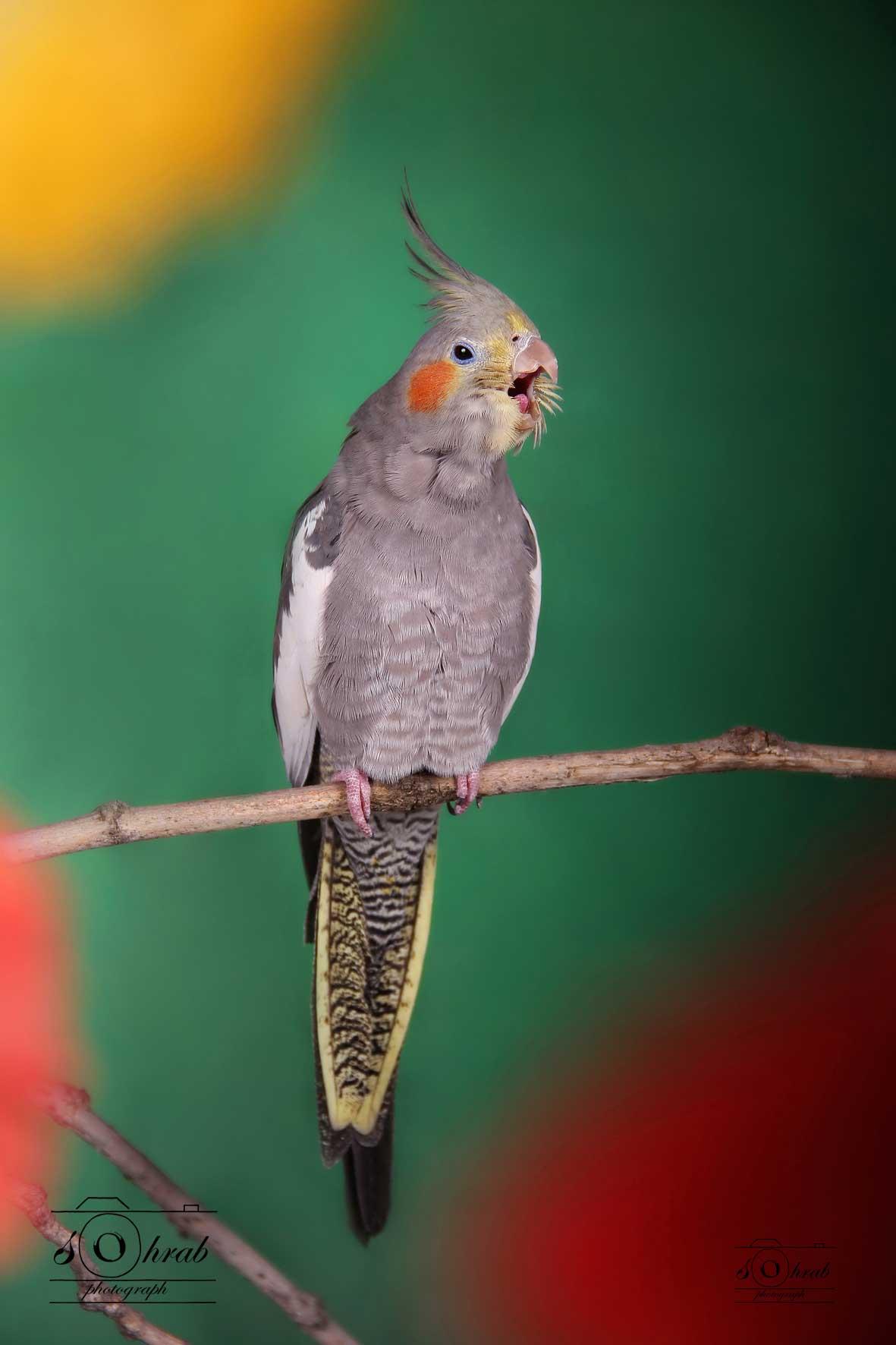 عکاسی از حیوانات خانگی و اهلی گربه سگ قناری بلبل طوطی    Photography of pets and domestic cats canary dog nightingale parrot
